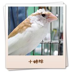 小鳥のセンター病院・十姉妹