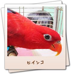 小鳥のセンター病院・ヒインコ