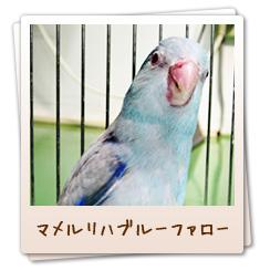 小鳥のセンター病院・マメルリハブルーファロー